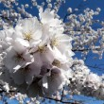 Wash, kiraz çiçekleri dc — Stok fotoğraf