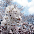 Cherry blossoms of Wash., DC — Stock fotografie #2268440