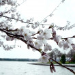 Cherry blossoms of Wash., DC — Stock Photo