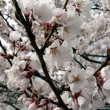 Cherry blossoms of Wash., DC — Stock Photo #2268456