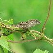 Lizard - florida anole — Stock Photo