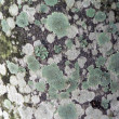 Abstract texture - lichen covered bark 2 - Stock fotografie