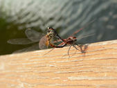 Dragonfly sex 2 — Stock Photo