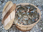 Crab - bushel of blue crabs 3 — Stock Photo