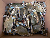 Crab - live blue crabs in box 2 — Stock Photo