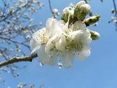 Cherry blossoms 2 of Washington, DC — Stock Photo