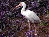 Bird - white ibis — Foto Stock