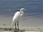 Bird - white egret — Stock Photo