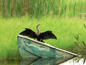 Bird - Anhinga or Snake Bird — Stock Photo
