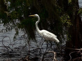 Bird - white egret 2 — Foto Stock