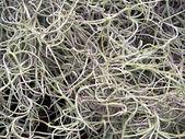Abstract texture - spanish moss 2 — Stock Photo