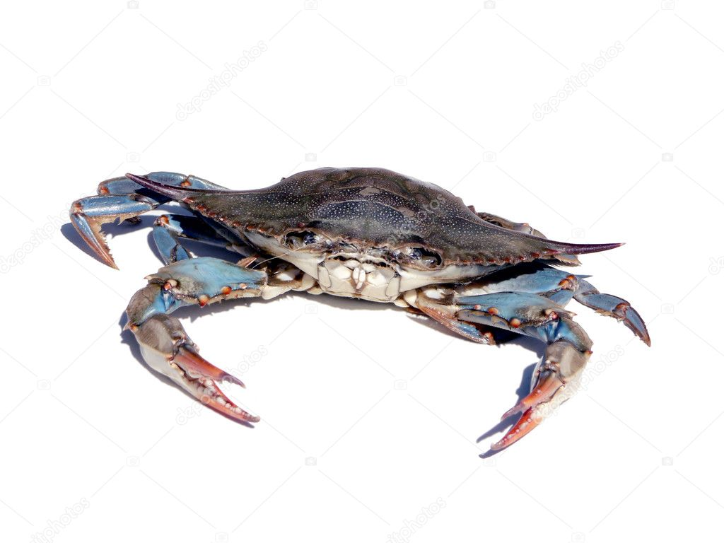 Blue crab from the Chesapeake Bay of Maryland isolated over a white background — Stock Photo #2387396