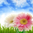 Gerbers and spring scenery - Stock Photo