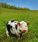 Cute spotty piglet — Stock Photo