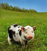 Cute spotty piglet — Stock Photo