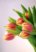 Spring tulips — Stock Photo