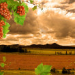 Stock Photo: Grapes, grapevine and sunset