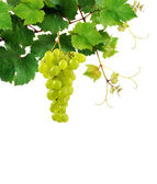 Grapevine with grape cluster — Stock Photo