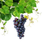 Grapevine with blue grape cluster — Stock Photo