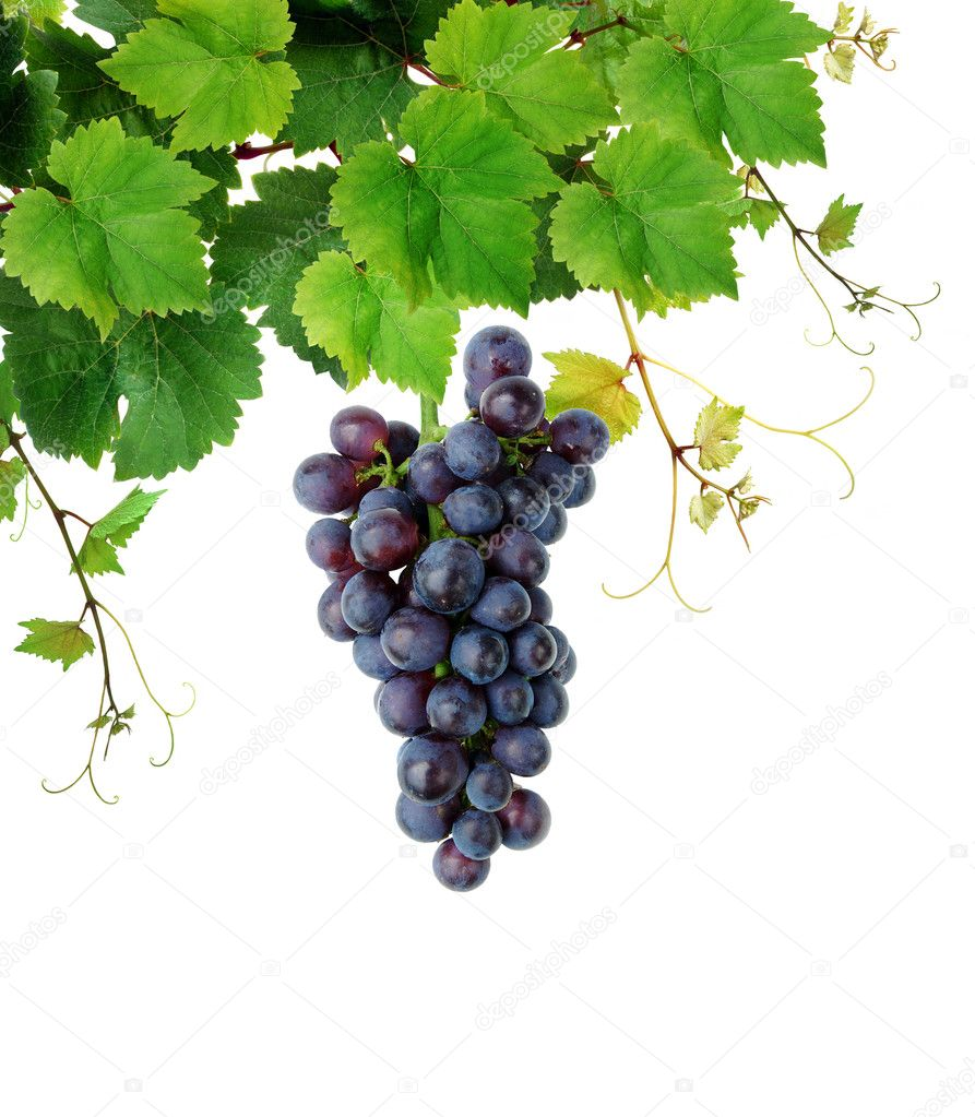 Isolated grapevine with fresh wine grape — Stock Photo #2285617
