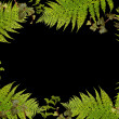 Fern and ivy border on black — Stock Photo