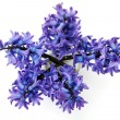 Blue hyacinthus bunch in detail — Stock Photo