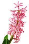 詳細ピンク hyacinthus — ストック写真