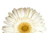 White gerber in detail — Stock Photo