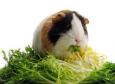 Small guinea pig eating lettuce — Stock Photo