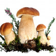 Group of forest mushrooms — Foto Stock