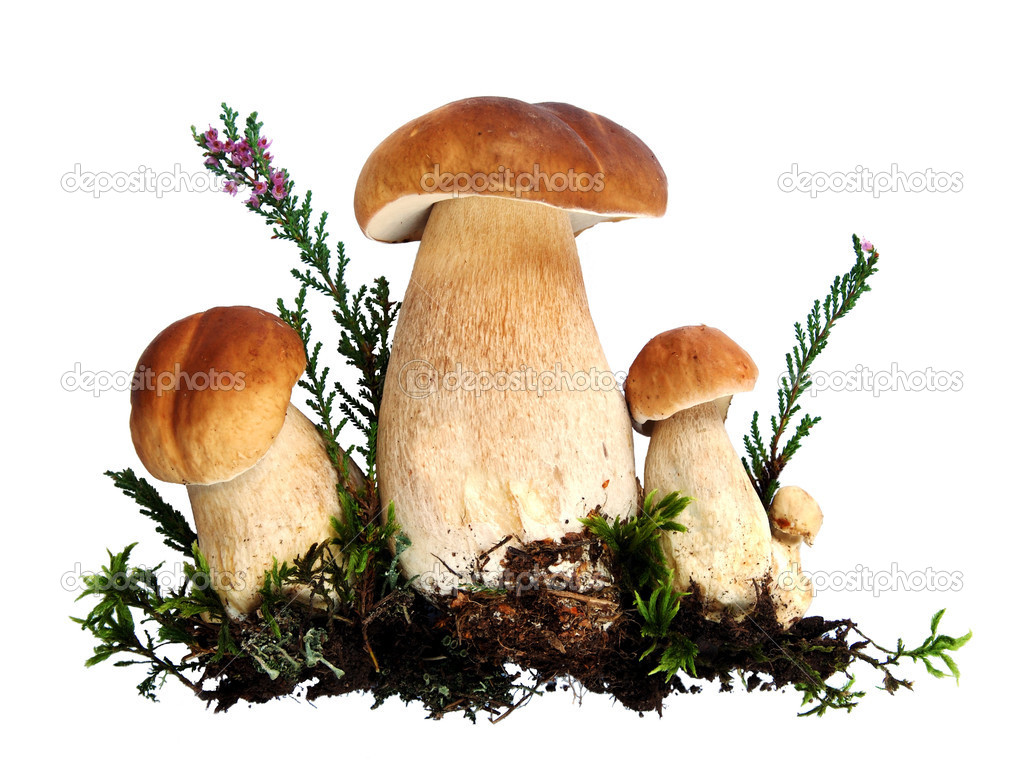 Forest mushrooms - Boletus edulis, isolated  — Stock Photo #2448895