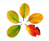 Five leaves — Stock Photo