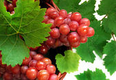 Grapes in basket in detail — Stock Photo