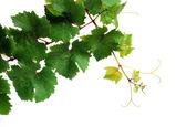 Isolated grapevine — Stock Photo
