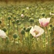 Grunge poppies — Stock Photo