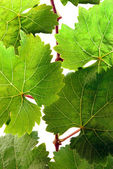 Grapevine leaves in detail — Stock Photo