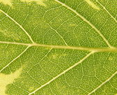 Green and yellow leaf, macro — Stock Photo