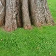Big trunk of old tree on green grass — Stock Photo #2246584