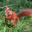 Little squirrel — Stock Photo