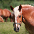 Portrait of a lovely brown horse — Stock Photo #2246663