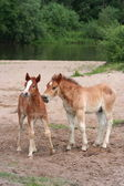 Two young foals — Stock Photo