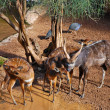Stock Photo: Antelope in zoo