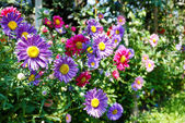 Colorful Wild Daisies — Stock Photo