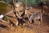 Antelope in zoo — Stock Photo