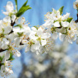 Plum Tree Blossom - Stock Photo