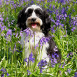 Cute long haired dog in a field of blueb — Stock Photo