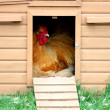 Chicken in coup - Stock Photo