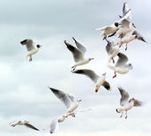 Seagulls fighting for food — Stock Photo