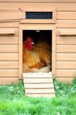 Chicken in coup — Stock Photo