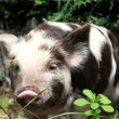 Stock Photo: Baby spotted piglet